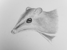 Balabac mouse-deer