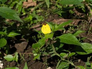 Eurema sarilata aquilo
