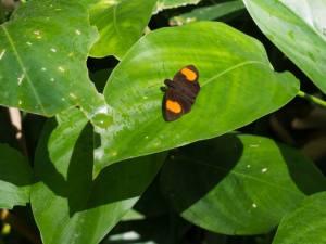 Koruthaialos rubecula luzonensis