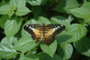 Parthenos sylvia philippensis