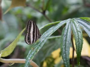 Ragadia luzonia negrosensis