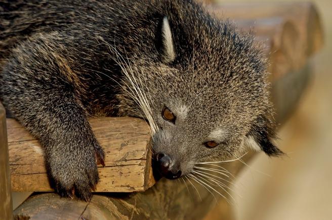 Binturong or bearcat