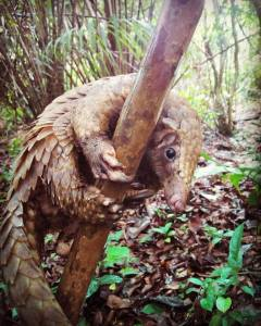 Pangolin resuced and released by Libassa Wildlife Sanctuary