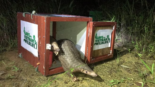 pangolin release by Save Vietnam's Wildlife